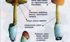 Салат из сырых кесаревых грибов.